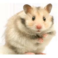 Muursticker hamster